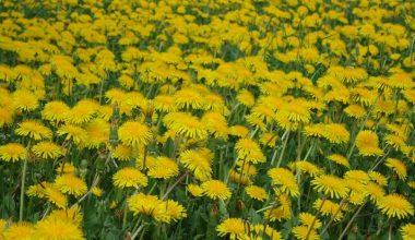 Вы знаете солнечные цветы?