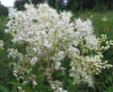 Цветы таволги ( лабазника)