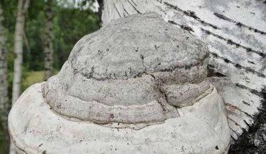 Как древесный паразит чудодейственно работает в организме человека?
